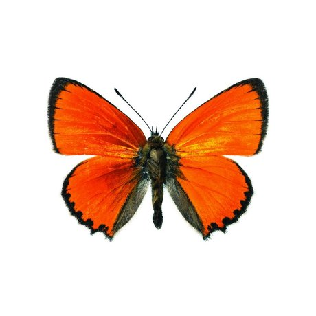 KEK Amsterdam Wall Sticker Butterfly Butterfly 955 orange brown 17x12cm