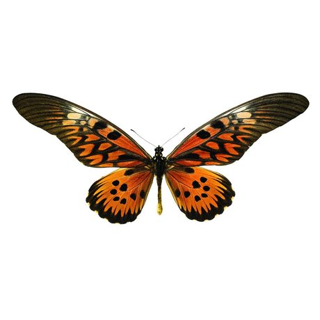 KEK Amsterdam Wall Sticker Butterfly Butterfly 951 brown orange 16x10cm