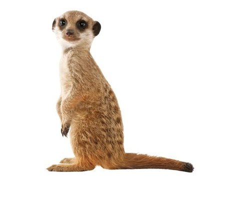 KEK Amsterdam Vinyl Wall Sticker 52x55cm brown, Safari Friends Meerkat