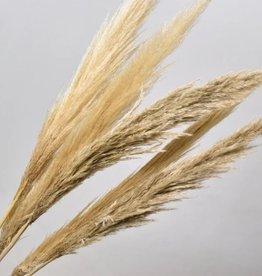 Pampas gras 90-110cm