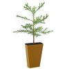 Giant Sequoia (Sequoiadendron giganteum)