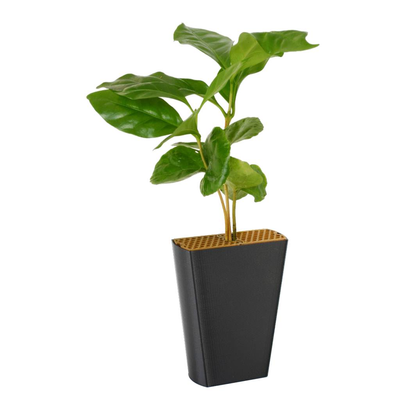 Koffieplant (Coffea arabica)