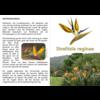 Paradijsvogelbloem (Strelitzia reginae, Mandela's Gold)
