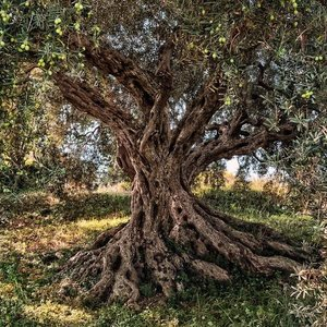 Komar Fotobehang 8-531   Olive Tree