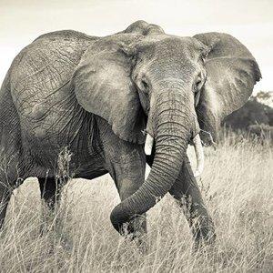 Komar Fotobehang vlies 4-529  Elephant