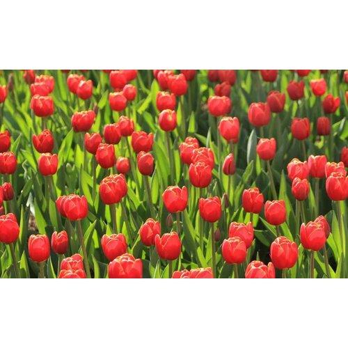 Noordwand  Holland Fotobehang Tulpen Rood 6224