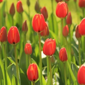 Noordwand  Holland Fotobehang Tulpen Rood II 6226