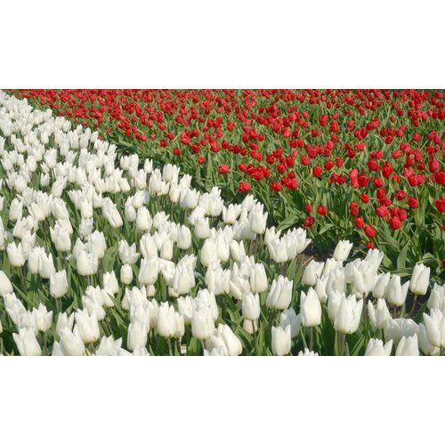 Noordwand  Holland Fotobehang Tulpen Wit en Rood 8123