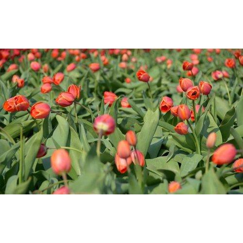 Noordwand  Holland Fotobehang Tulpen Rood III 8133