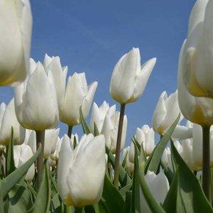 Noordwand  Holland Fotobehang Tulpen Wit 8179