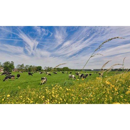 Noordwand  Holland Fotobehang Koeien in de Wei 1016