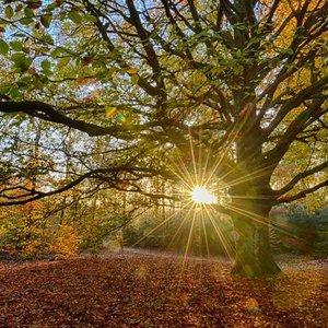 Noordwand  Holland Fotobehang Oude Beukenboom 2032